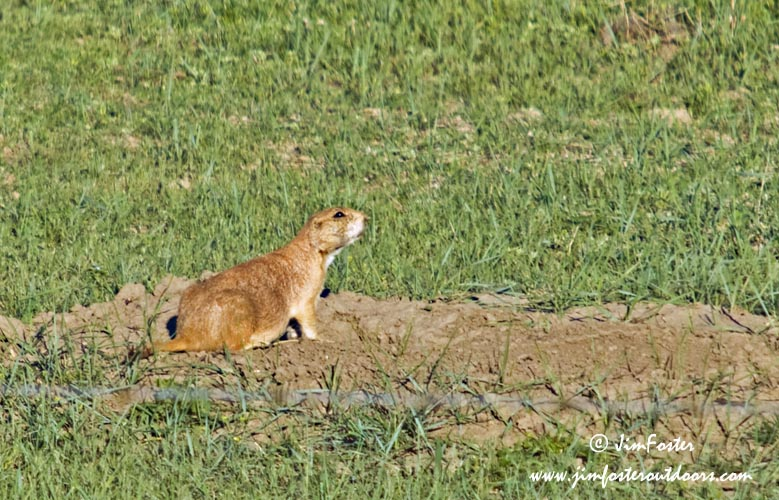 american great plains animals - photo #40