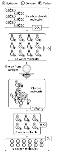 During photosynthesis, the energy of sunlight is used to rearrange the components of carbon dioxide and water molecules to form glucose, water, and oxygen.
