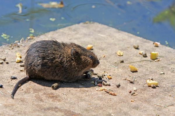 eliminar plaga ratas Castellón