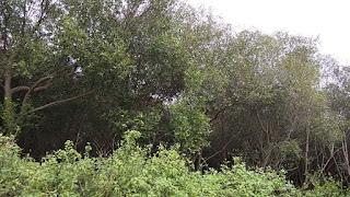 Hutan Mangrove Mangunharjo, Mangkang, Semarang