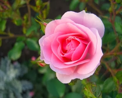 Shakespeare Roses A Shakespeare Garden