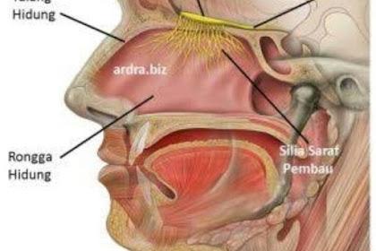 Fungsi Hidung Dan Bagian-Bagian Hidung | Cinta Sains