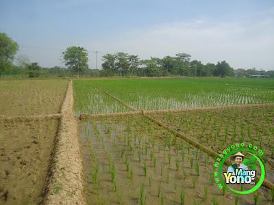 FOTO 6 :  Pengairan Tanaman Padi TRISAKTI MANGYONOcom. sebelah kiri tanaman padi varietas lain milik petani lain.  Sebelah kanan Padi TRISAKTI MANGYONOcom