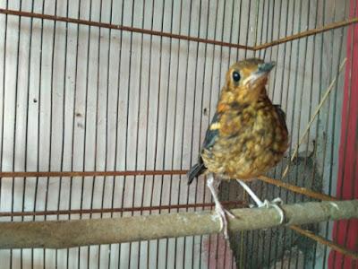 Burung Anis Merah yakni salah satu jenis burung kicau yang cukup terkenal di indera pendengaran kica Cara Membedakan Anis Merah Jantan Dan Betina Ketika Masih Trotol