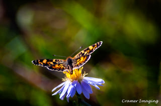 Cramer Imaging's professional quality nature insect photograph of small orange and black butterfly on wildflower in Caribou National Forest, Bannock, Idaho