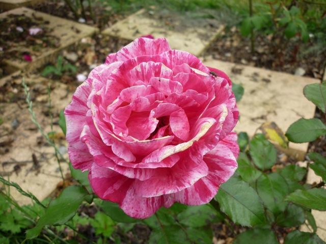 la fleur du dimanche: une rose est une rose, comme un ruban, comme