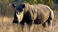 Rhinoceros_Ceratotherium simum pictures