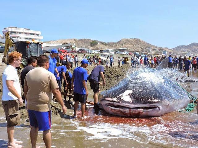 muere tiburon ballena en santa marianita