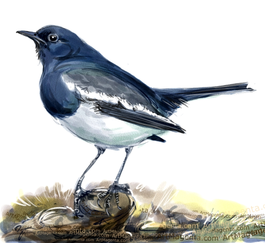 Oriental magpie-robin sketch painting. Bird art drawing by illustrator Artmagenta