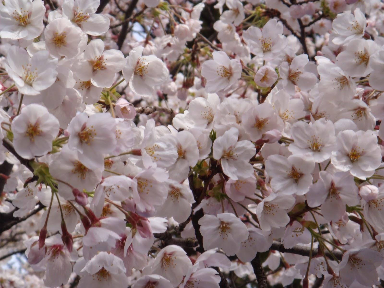 Jual Bibit Pohon Sakura Jepang | Bunga Sakura