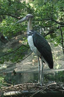 Burung rawa berukuran besar ini termasuk dalam keluarga Ciconiidae Mengenal Bangau Tongtong