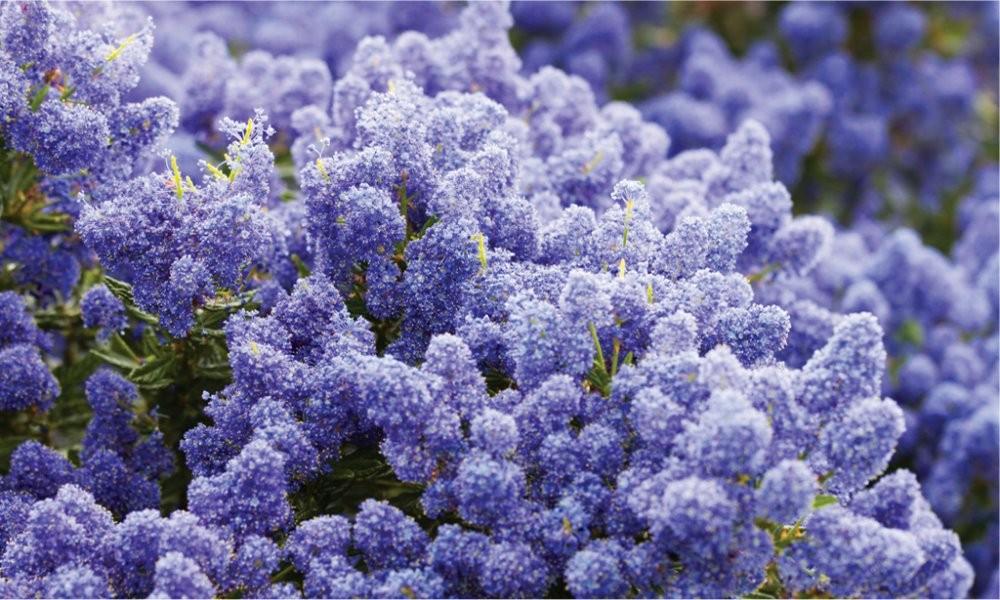 Flores azules Ceanothus thyrsiflorus repens - Californian Lilac