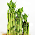 How to Care Lucky Bamboo Plants in Your Home?