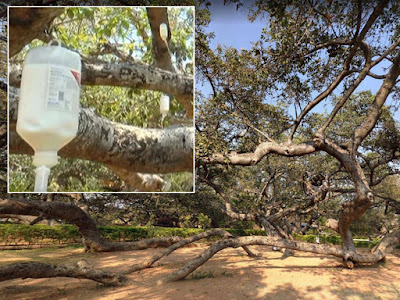 Asia: Dying 700-year-old tree put on insecticide drip in final attempt to save it from termites
