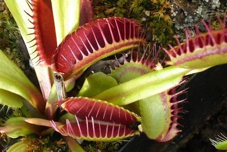 Etçil Venus Flytrap Çiçeği Hakkında Bilgi