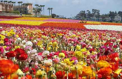 the flower field at carsbad ranch