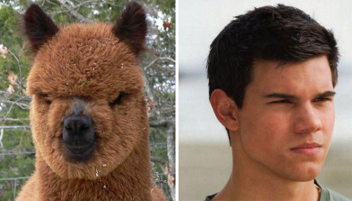 Alpaca parecida com Taylor Lautner