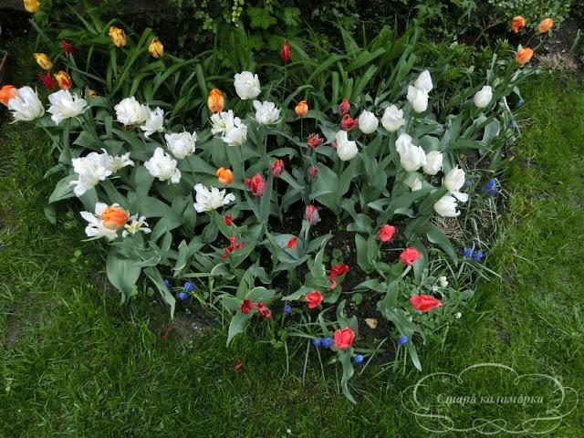 тюльпаны, сад, цветник, тюльпаны в саду, сорта тюльпанов, фото тюльпанов