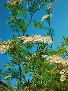 Cilantro de las plantas medicinales más usadas como tónico estomacal