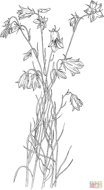 Bluebell Bellflower Coloring Page  Supercoloring