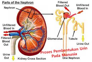 Proses Pembentukan Urin Pada Manusia