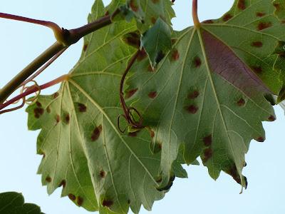 листья винограда повреждены