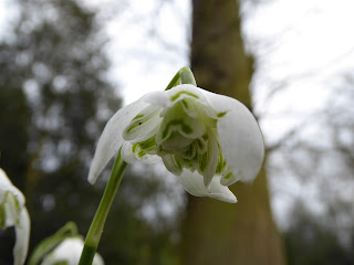 Snowdrop variety (Galanthus nivalis)