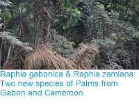 https://sciencythoughts.blogspot.com/2018/11/raphia-gabonica-raphia-zamiana-two-new.html
