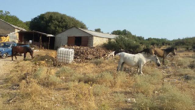 Γιάννενα: Γέμισε η Κοσμηρά με άλογα! Στέρεψαν οι δεξαμενές του βουνού και πήραν τον κατήφορ..