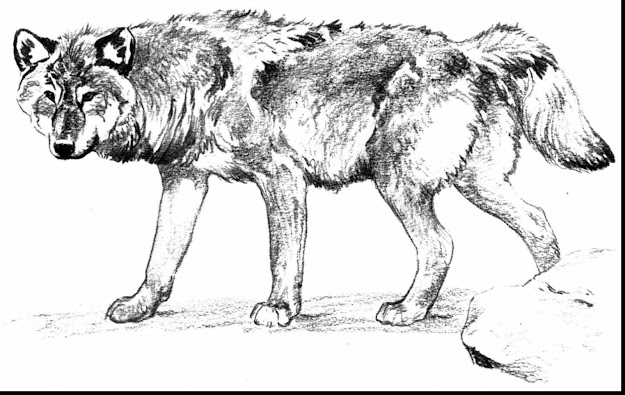 Astounding Wolf Coloring Pages With Wolf Coloring Page And Wolf Coloring  Pages Realistic