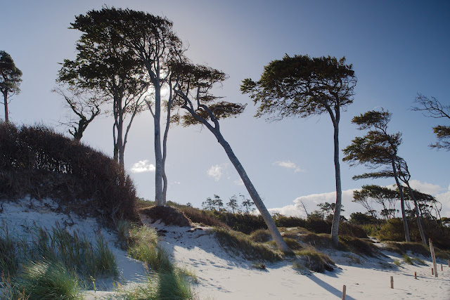 Der Darß - Windflüchter am Weststrand