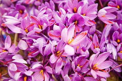 Công dụng thực sự của Saffron Nhụy hoa nghệ tây là gì?