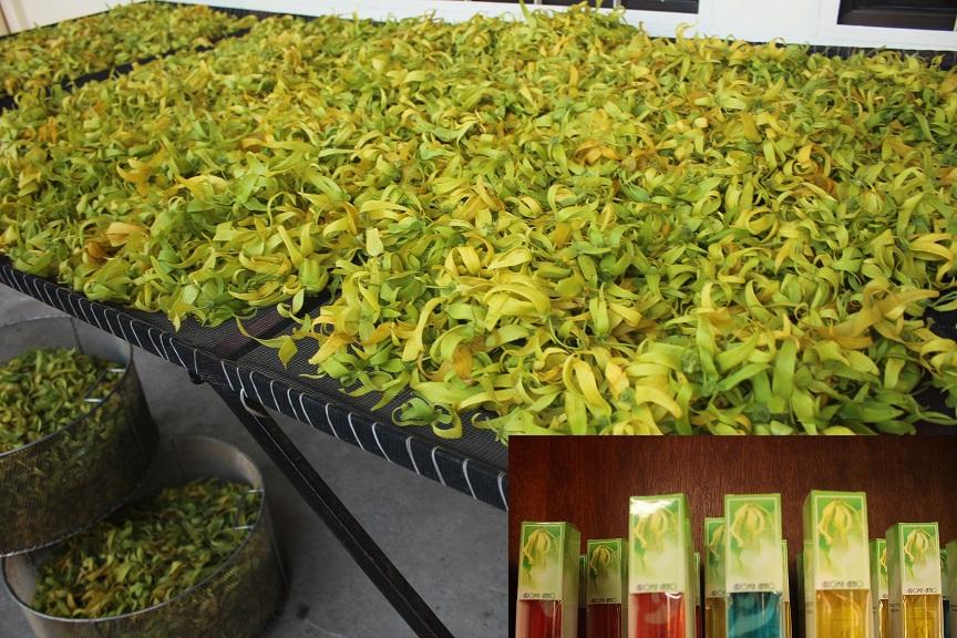 Anao's ylang ylang perfumes