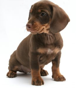 Sifat Anjing Tekel / Dachund