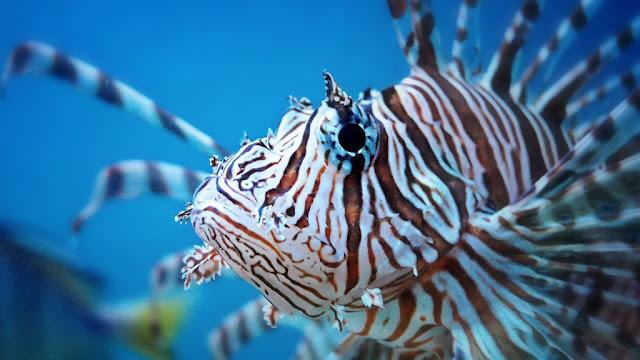 Gambar Ikan Lionfish - Budidaya Ikan