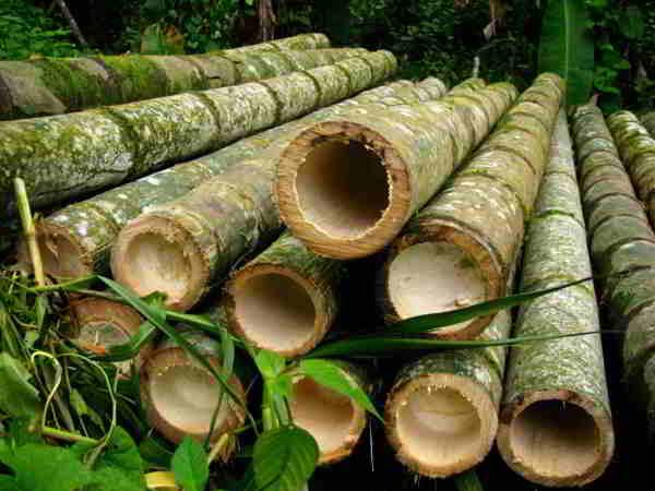 diámetros del bambú
