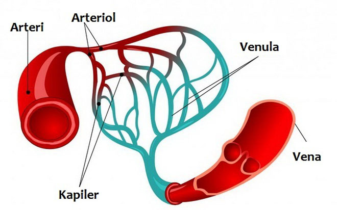 Perbedaan Vena dan Arteri