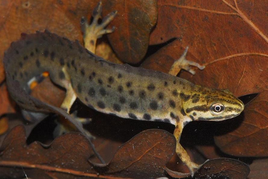 Amphibians: Common Newt - Lissotriton vulgaris