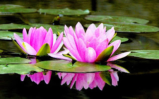Budidaya Bunga Teratai