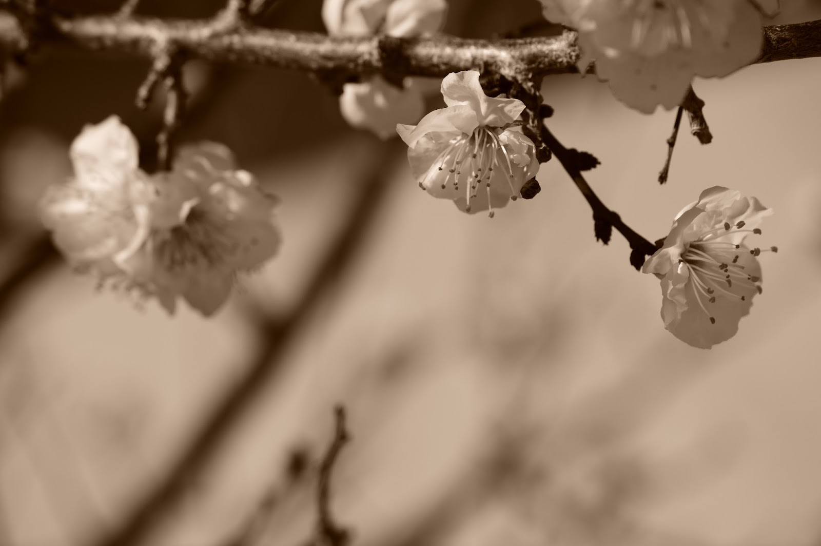 apricot blossoms, wordless wednesday
