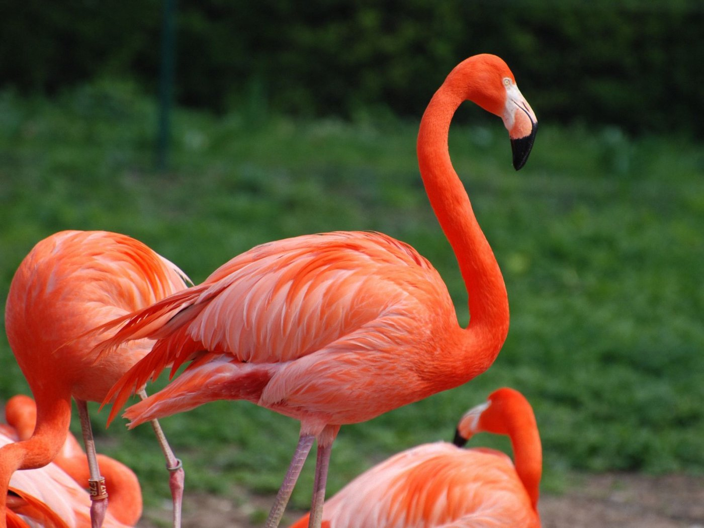 Flamingo | Bird Basic Facts & Beautiful Pictures | Beauty ...