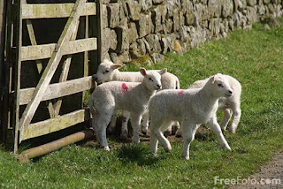 Lambs (c) FreeFoto.com
