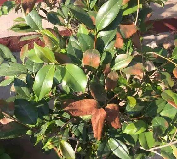 橘子皮爛蘋果扔盆里。花像吃興奮劑。瘋長開花不黃葉!!