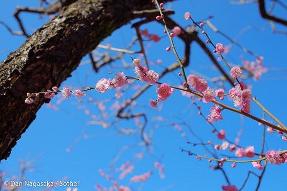 梅の太い幹と満開の梅