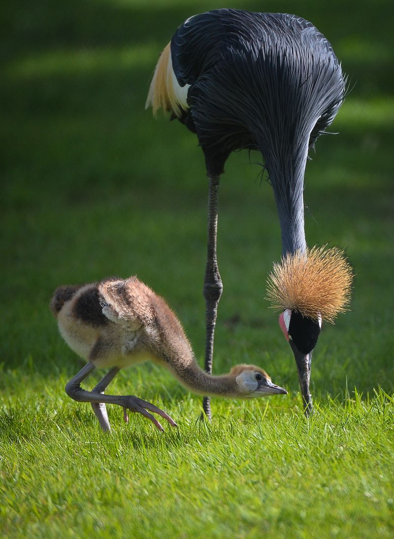 Baby Animals: Crane Chicks 5