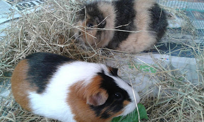 family pets guinea pig bonding session