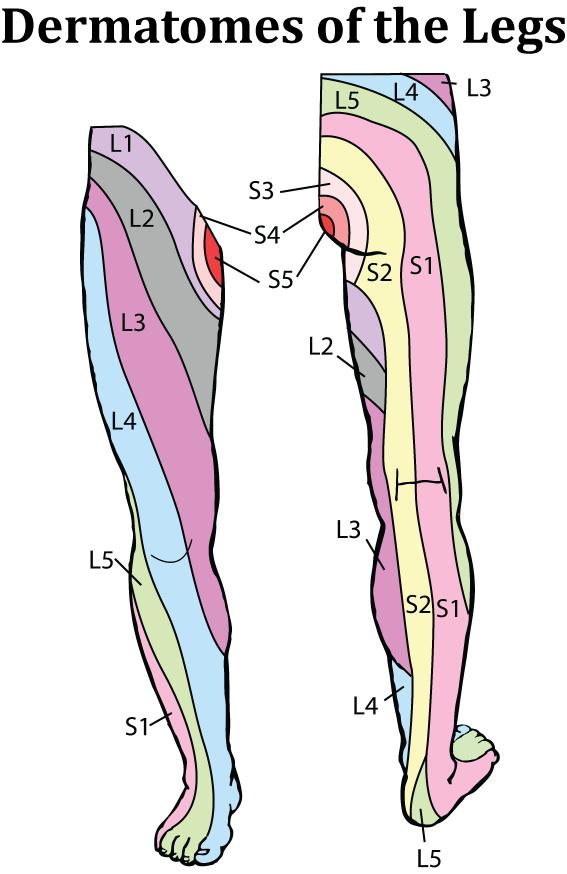 Physio Study Bd Sub Anatomy I Dermatome Of Lower Limb