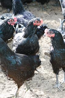 黒い鶏、駿河軍鶏(シャモ)