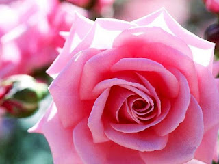 Gambar Bunga Mawar Yang Cantik Mempesona 200166_Pink Roses