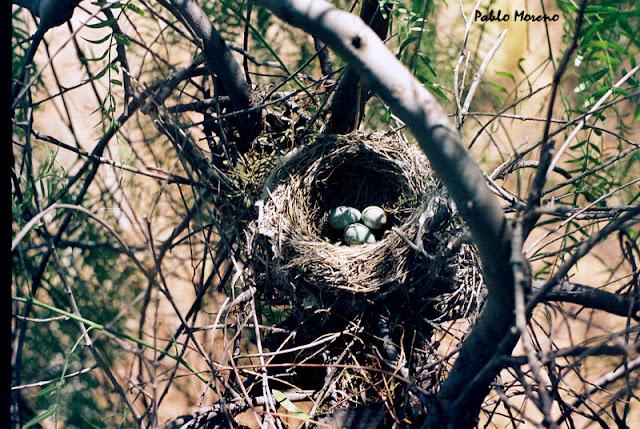 nido de zorzal chalchalero